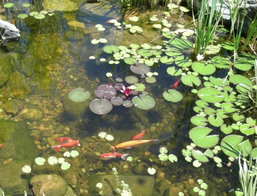 Pond with Fish and Lilies