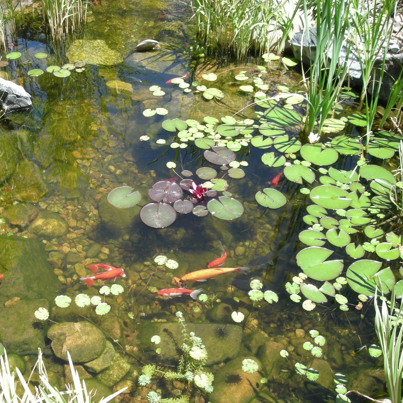 Pond with fiish and lilies